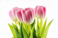 郁金香 在白色背景隔绝的桃红色花 免版税库存照片