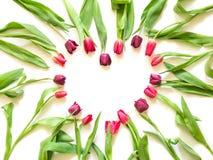 郁金香以心脏的形式在白色背景塑造 库存图片
