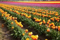 郁金香绽放行在华盛顿州的 免版税库存图片