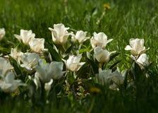 郁金香 百合科的一棵球茎春天开花的植物,与大胆地色的杯形的花 图库摄影
