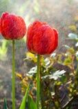 郁金香 百合科的一棵球茎春天开花的植物,与大胆地色的杯形的花 免版税库存照片