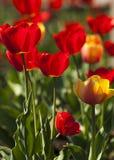 郁金香 百合科的一棵球茎春天开花的植物,与大胆地色的杯形的花 库存图片
