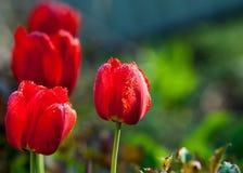 郁金香 百合科的一棵球茎春天开花的植物,与大胆地色的杯形的花 免版税库存图片