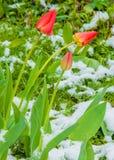 郁金香 百合科的一棵球茎春天开花的植物,与大胆地色的杯形的花 库存照片