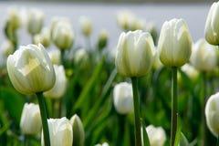 郁金香 百合科,机智的一棵球茎春天开花的植物 免版税库存照片
