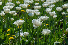 郁金香 百合科,机智的一棵球茎春天开花的植物 库存图片