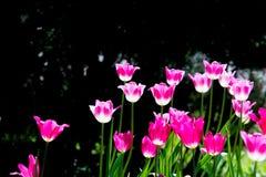 郁金香 百合科,机智的一棵球茎春天开花的植物 库存照片
