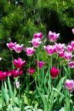 郁金香 百合科,机智的一棵球茎春天开花的植物 免版税图库摄影