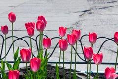 郁金香 百合科,机智的一棵球茎春天开花的植物 免版税库存图片