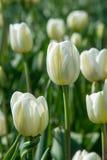 郁金香 百合科,机智的一棵球茎春天开花的植物 图库摄影