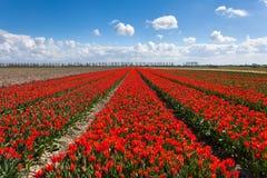 郁金香 美丽的五颜六色的红色花 库存照片