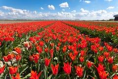 郁金香 美丽的五颜六色的红色花 免版税库存照片