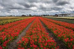郁金香 美丽的五颜六色的红色郁金香在春天领域开花 免版税库存照片