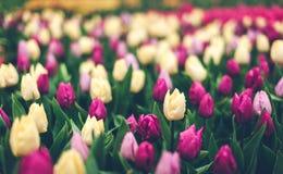 郁金香 美丽的多彩多姿的花在春天停放,花卉背景 库存图片