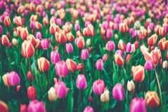 郁金香 美丽的多彩多姿的花在春天停放,花卉背景 图库摄影