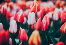 郁金香 美丽的花在春天停放,花卉背景 葡萄酒 免版税库存图片
