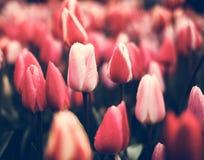 郁金香 美丽的花在春天停放,花卉背景 葡萄酒 库存图片