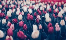 郁金香 美丽的花在春天停放,花卉背景 葡萄酒 免版税库存照片
