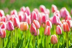 郁金香 美丽的花在春天从事园艺,花卉背景 免版税图库摄影