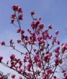 郁金香 美丽的花束郁金香 五颜六色的郁金香 郁金香在春天,五颜六色的郁金香 库存图片