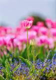 郁金香 美丽的花束郁金香 免版税图库摄影
