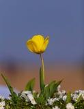 郁金香 美丽的花束郁金香 库存照片