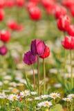 郁金香 美丽的花束郁金香 图库摄影