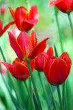郁金香 美丽的花 库存图片