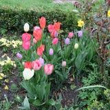郁金香绿草和蓝色小风信花每五颜六色的春天gr 免版税库存图片