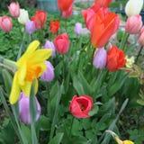 郁金香绿草和蓝色小风信花每五颜六色的春天gr 库存图片