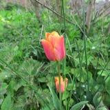 郁金香绿草和蓝色小风信花每五颜六色的春天gr 免版税库存照片