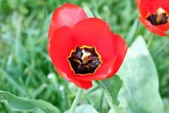郁金香 Tulip's瓣 郁金香墙纸背景 在郁金香里面的看法 郁金香花纹理和花卉样式 没有削尖 库存照片
