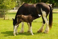 郡母马和马驹 免版税图库摄影