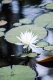 部分地开花waterlily在有反射的湖 免版税库存图片