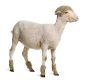 部分地被刮的4个羊羔美利奴绵羊的月 库存图片