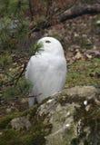 部分多雪隐藏的猫头鹰 免版税库存照片
