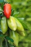 部分成熟的圣马尔扎诺蕃茄在一个菜园里 库存照片