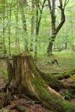 部分被拒绝的树桩 免版税图库摄影
