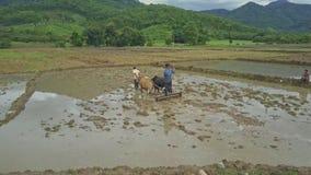 部族农民轮黄牛悲惨的湿泥米领域 股票视频