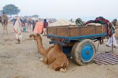 部族游牧阵营的在公平的牛期间,普斯赫卡尔,印度阿拉伯骆驼婴孩 免版税库存图片