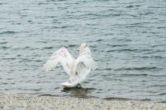 部署他的翼的天鹅在湖观看 免版税图库摄影