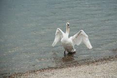 部署他的翼的天鹅在湖 库存图片