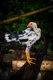 部落鸡在印度尼西亚 库存图片