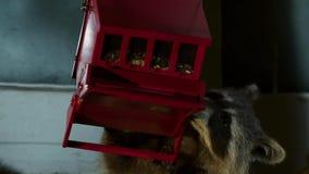 都市浣熊是机会主义者,并且他们是热切探索新的环境,春天在多伦多 美国 免版税库存照片