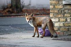 都市的狐狸 库存照片