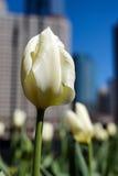 都市的郁金香 免版税库存图片