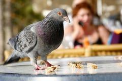 都市的鸽子 免版税图库摄影
