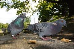 都市的鸽子 图库摄影