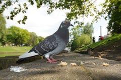 都市的鸽子 库存照片