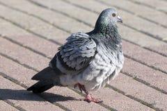 都市的鸽子 免版税库存图片